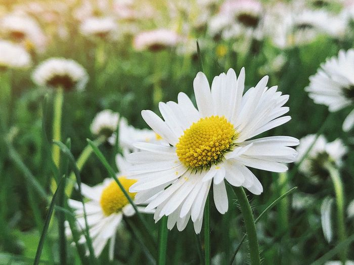 In bloom 🌸... Botany Bulb Field Grass Chamomile Garden Flora Sunlight Environment Spring Flowers Spring Bloom Plant Flower Flowering Plant Growth Fragility Vulnerability  Freshness Daisy Yellow Nature Flower Head Beauty In Nature Petal Inflorescence White Color Pollen Focus On Foreground Outdoors