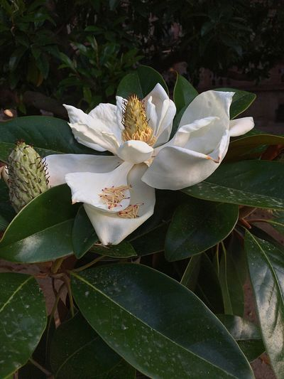 Magnolia Magnolia Tree Magnolia Flower Plant Flower Flowering Plant Plant Part Leaf Growth Beauty In Nature Flower Head Petal White Color Pollen Fragility