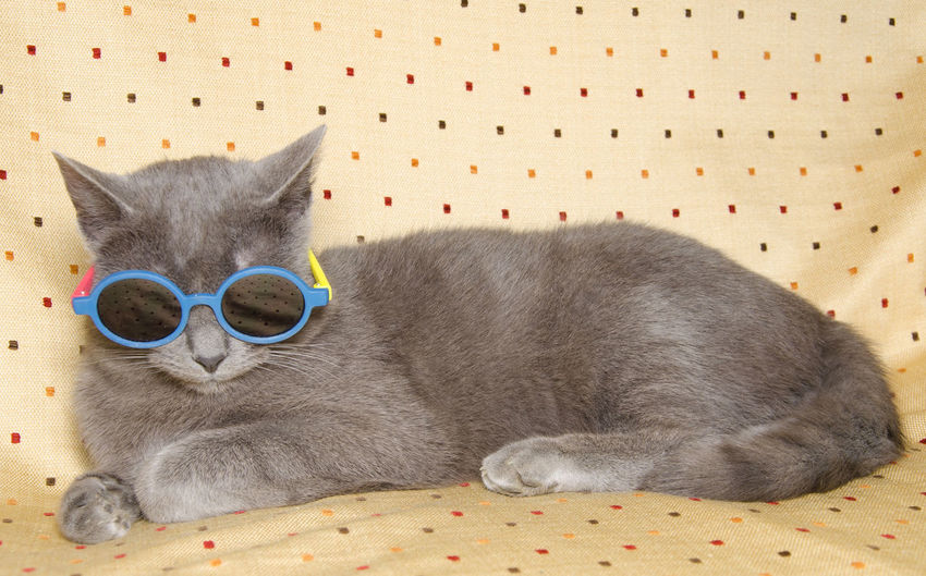 Summer portrait of cool cat with sunglasses Cool FUNNY ANIMALS Animal Animal Themes Beach Cat Cat Crazy Crazy Moments Domestic Domestic Animals Domestic Cat Fashion Feline Fun Humor Lying Down Mammal No People One Animal Pets Relaxation Summer Sunglasses Vertebrate Whisker