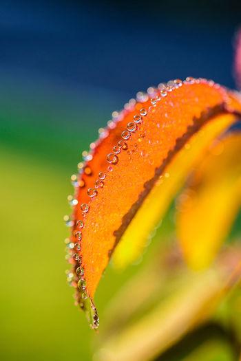 Close-up of raindrops on orange leaf
