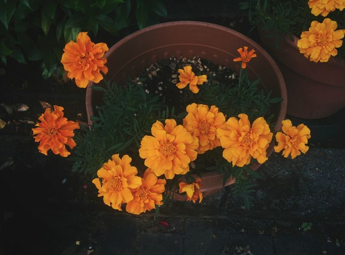 High angle view of orange flowers on potted plant