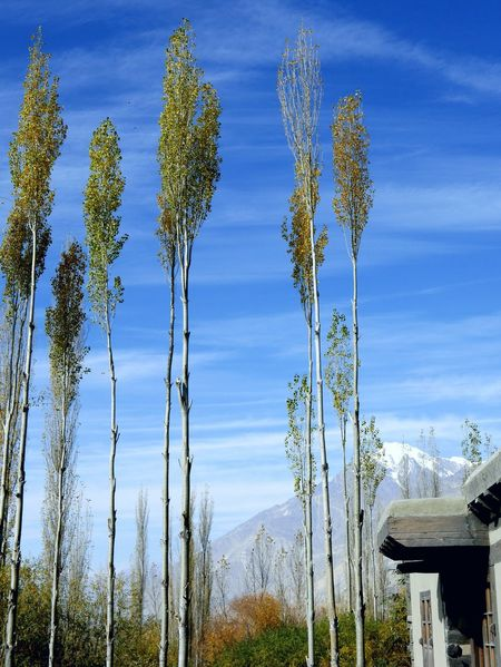 Nature Blue Sky Tree Beauty In Nature Poplar Beautiful Nature Mountain View No People Mountain Views Landscape