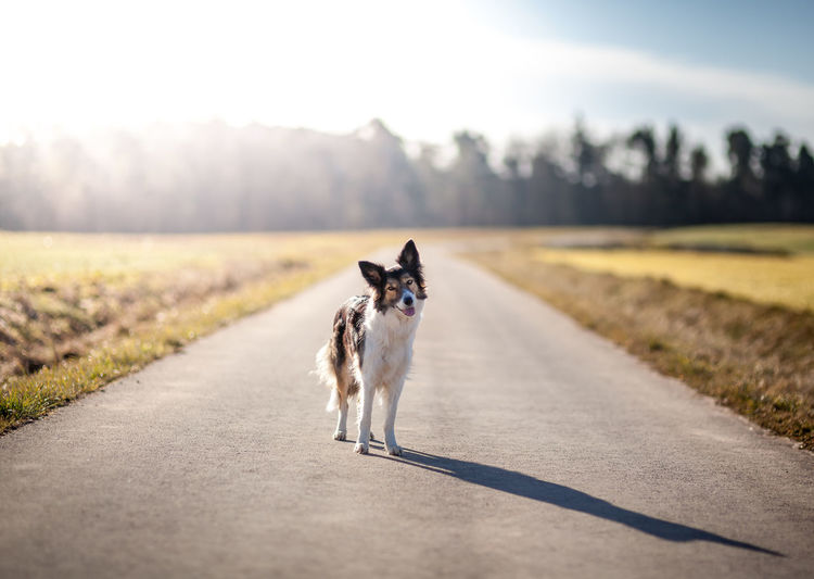 Portrait Of A Dog Standing On Road