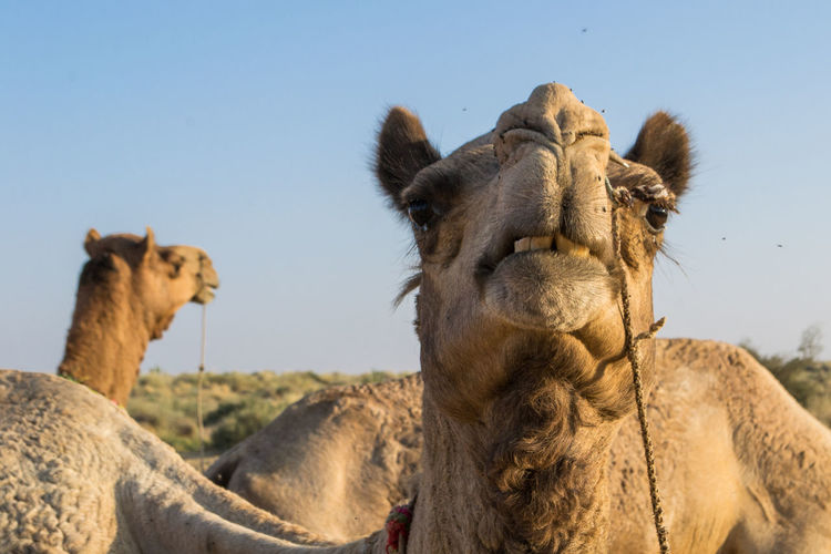 Camel looking into the camera lens with flies all around it in the Thar Desert - Jaisalmer, India. Animal Body Part Animals In The Wild ASIA Camel Clear Sky Close-up Day Desert Flies Fly Focus On Foreground Funny Headshot India Jaisalmer Low Angle View Mammal Nature No People One Animal Thar Desert Travel Travel Photography Traveling
