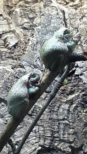 Camouflaged frogs on branch