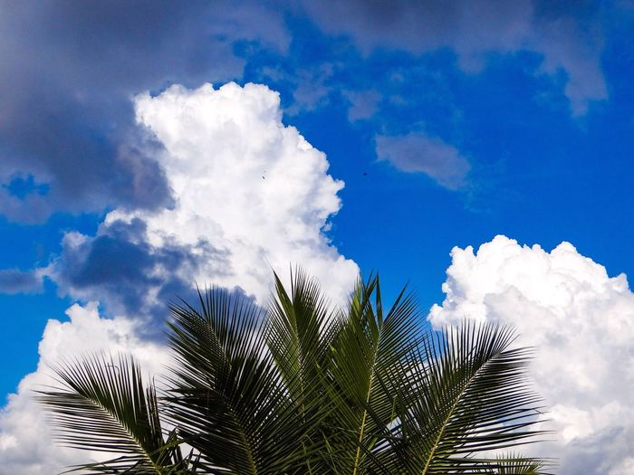 CLOUDS AND FRONDS Coconut Palm Tree Fronds Sky Cloud - Sky Tree Low Angle View Plant Palm Tree Growth Nature Tropical Climate Beauty In Nature Tranquility Day Outdoors Scenics - Nature Blue Leaf Tranquil Scene Palm Leaf Sunlight No People