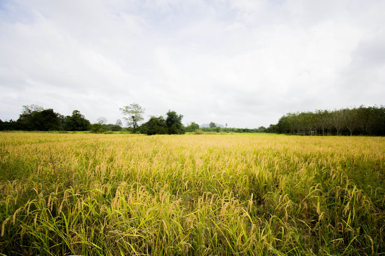 Agriculture Cereal Plant Crop  Day Field Freshness Growth Landscape Nature No People Outdoors Rice Rural Scene Scenics Sky Tranquil Scene Tree Wheat