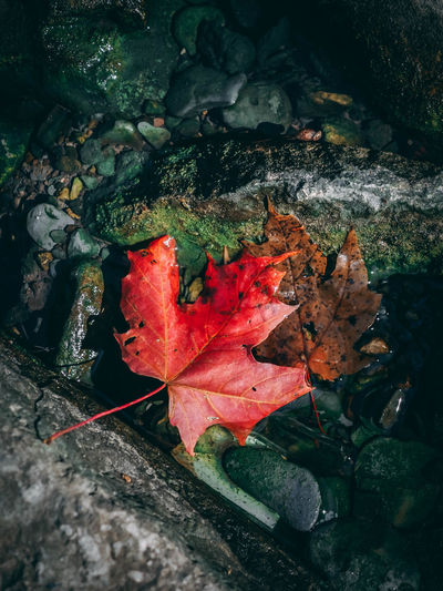 Autumn Beauty In Nature Change Close-up Day Dry Fallen Fragility High Angle View Leaf Leaves Maple Maple Leaf Nature No People Outdoors Red Water
