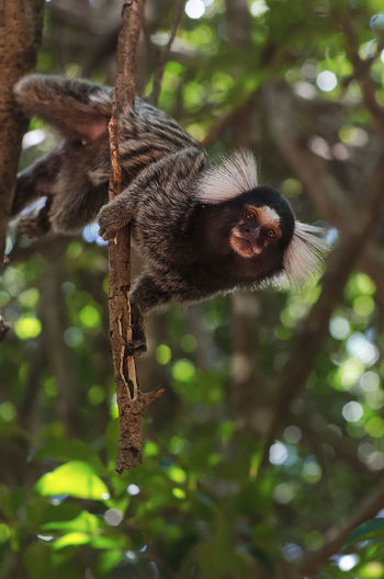 Primate Animal Animal Themes Tree Mammal Monkey Animal Wildlife One Animal Animals In The Wild Plant Vertebrate Branch Focus On Foreground No People Nature Hanging Day Forest Low Angle View Outdoors