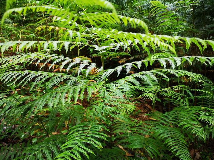 Close-up of fern growing in forest