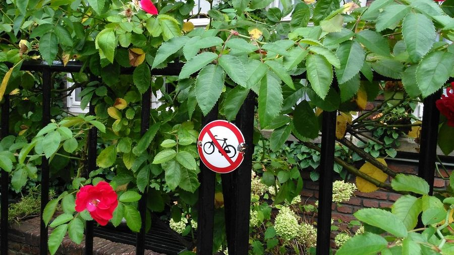 Leaf Green Color Growth Day Tree No People Plant Outdoors Nature Loveit Netherlands City Life Amsterdam Rose - Flower Street No Bikes Allowed Bike City Of Holland EyeEmNewHere