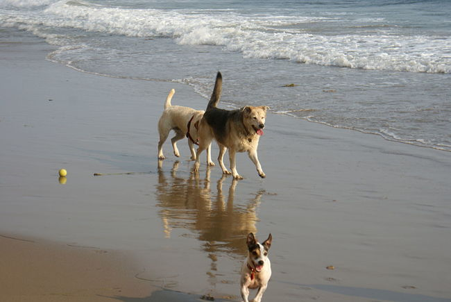 Happy dogs run on the beach and chase a ball on a sunny day in California. Fun Reflection Running Animal Themes Ball Beach Day Dog Domestic Animals Happy Dogs Leisure Activity Little Dog Nature No People Outdoors Pets Sea Sunny Day Water Wave California Dreamin