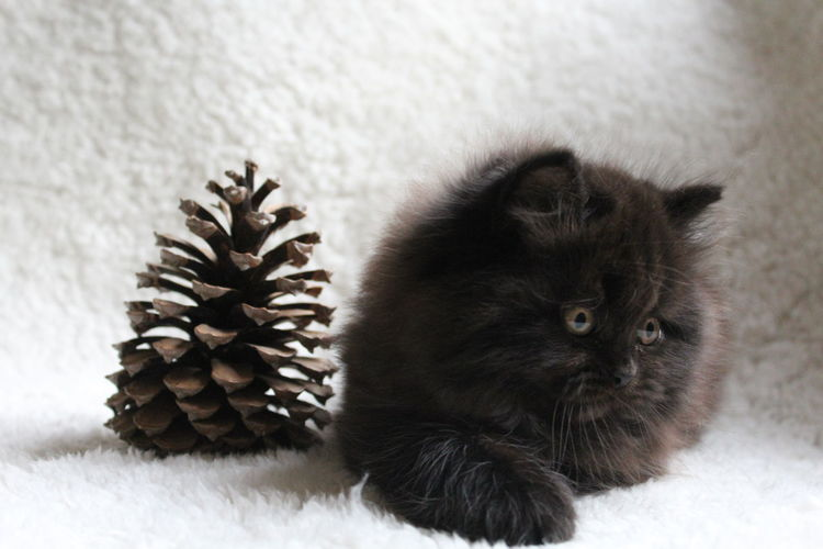 Close-Up Of Kitten With Pine Cone On Rug