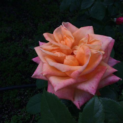 오늘은 장미날~ 사랑하는 사람에게 장미 한 송이~^^ Roses Hello World Love