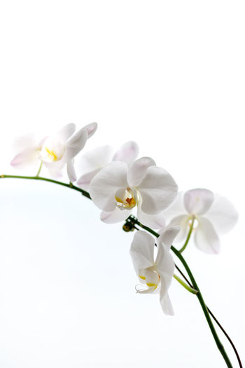 White Orchid plant Flowering Plant Flower Vulnerability  Fragility Plant Petal Beauty In Nature Freshness Close-up White Color Studio Shot Growth Inflorescence White Background Flower Head Orchid Copy Space Nature No People Plant Stem Springtime Orchid Blossoms Clear Sky