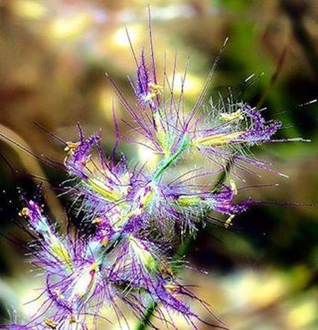 This Fountaingrass is colored, otherwise it'll just be ordinary brown (Pennisetum alopecuroides). I enjoy looking at these grasses, they follow the wind. 2) Ornamentalgrass 3) 9vaga9_macro 4) Pennisetum 5) Pampusgrass 6) Gardensonpencade 7) Rsa_macro 8) Fotofanatics_macro_ 9) Pocket_dof 0) Macro_brilliance 1) Macro_vision 2) Tv_depthoffield 3) Tv_dof 4) Flowersandmacro 5) Resourcemag 6) Loves_united_macro 7) Bnsmacro 8) Macro_club 9) Macroworld_tr 0) Ig_shotz 1) Bd_macro 2) Fstoppers 3) Bpa_macro 4) Jj_indetail 5) Macroflower 6) fstoppers 7) fotofanatics_nature 8) macroclique 9) show_us_macro 0) SuperHubs_Max