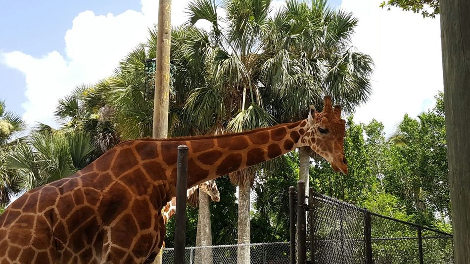 Friendship. Naples Zoo Naples Florida Naples💙 Tallest Animal In The World Giraffe Giraffe♥ Young Giraffe Palmtrees Palm Trees Blue Sky