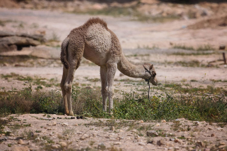 Side View Of Young Camel Standing On Field