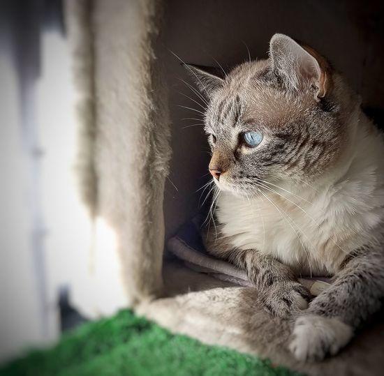 la profunda mirada del gato pensando en asuntos de gatos Gato Casa Doméstico Família Animal Felino Peludo Ratón Cuidando Mirando Lying Down Pixelated Portrait Close-up