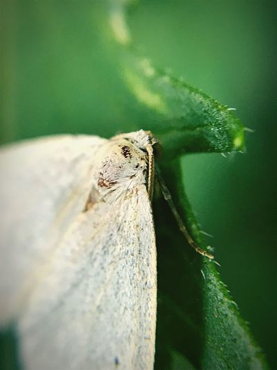 """""""At Rest"""" A tiny white moth rests in the cool of a natural garden setting in New Mexico. New Mexico Peaceful Garden Macro Photography Macro White Moth Moth Close-up No People Selective Focus Insect"""