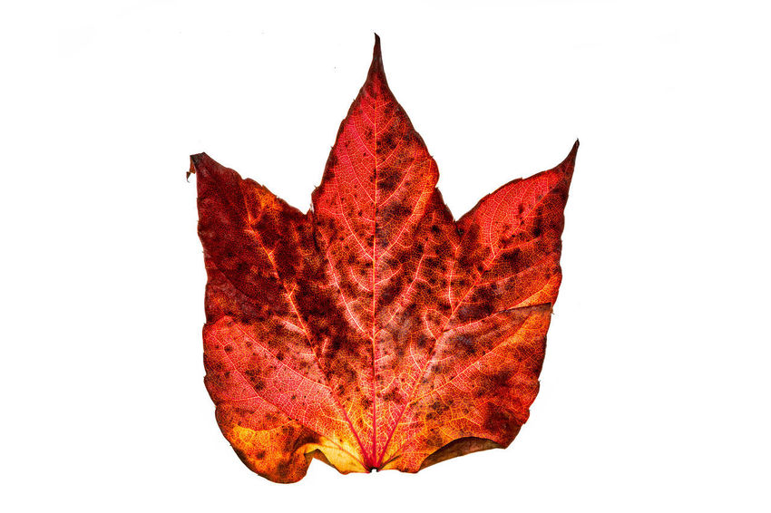 devil's proof ? Devil Teufel Autumn Beauty In Nature Devil's Proof Leaf Maple Leaf Red The Red Series