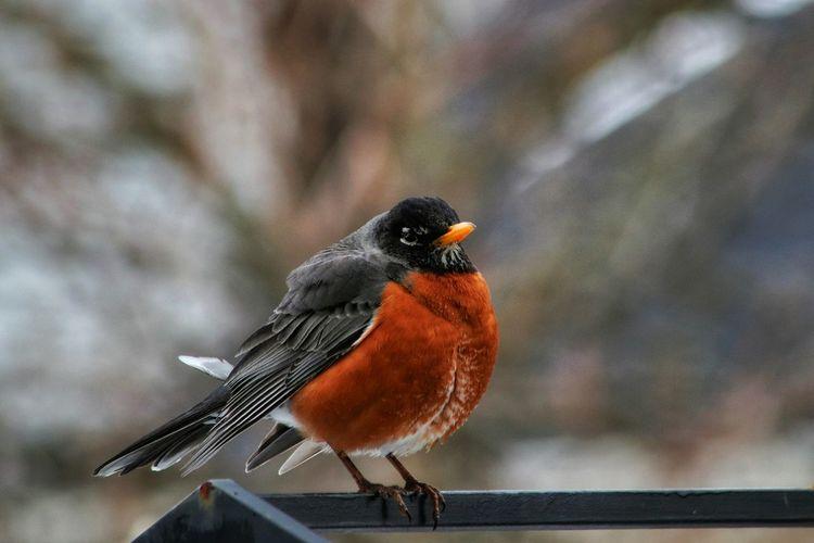 Backyard Photography Bird Perching Full Length Songbird  Robin Close-up Animal Themes Cold Winter 10