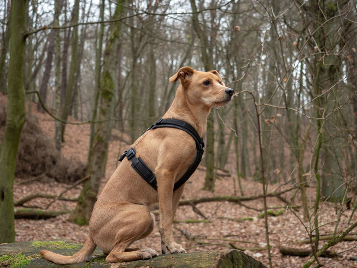 Proud Dog on a tree branch Mammal Dog Domestic Animals One Animal Animal Themes Tree Pets Canine Animal Domestic Vertebrate Plant Land Collar Pet Collar Nature Bare Tree Forest Focus On Foreground Looking No People Outdoors Purebred Dog Podenco