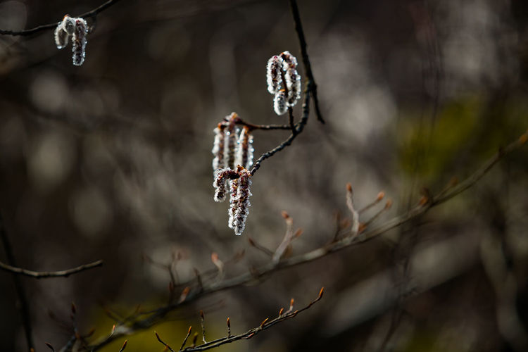 Close-up of icicles hanging from tree branch