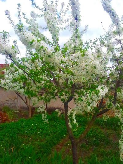Flowering fruit tree (Sour cherry) Beauty In Nature Branch Close-up Day Flower Freshness Green Color Growth Low Angle View Nature No People Outdoors Sky Tree