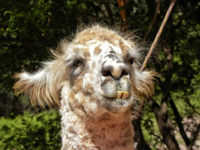 Llama One Animal Portrait Outdoors Close-up Looking At Camera Mammal Nature Animal Themes Animal Wildlife Animals In The Wild Day Funny Funny Teeth Teeth