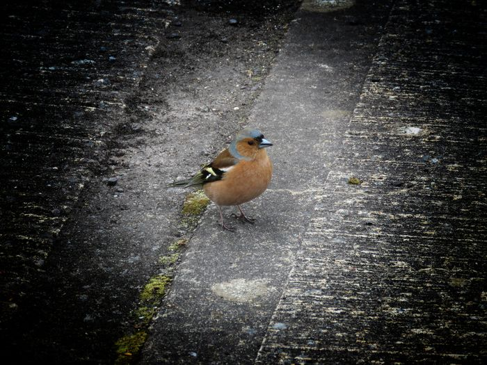 My little chaffinch friend comes for maggots when were fishing hehe👌😊👌 Taking Photos Check This Out From My Point Of View Ireland🍀 Nature Outdoors Bird Robin Redbreast Fishing Beauty In Nature Eyeem2017 Bird Collection High Angle View Day Light And Shadow Close-up The Places I've Been Enjoying The View Enjoying Life