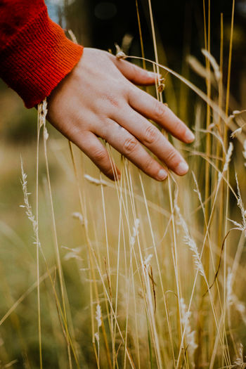 Close-up of hand holding wheat growing on field