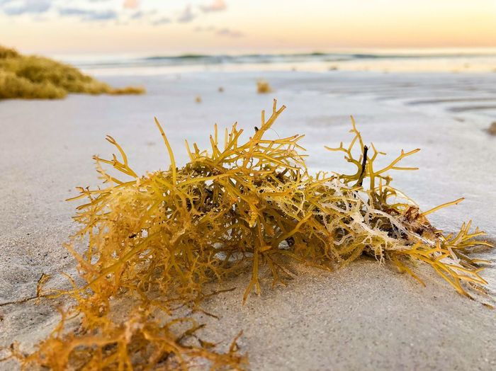 Seaweeds in the