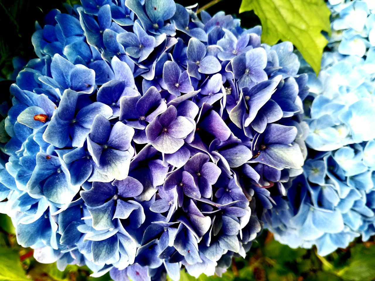 flower, beauty in nature, petal, purple, fragility, nature, flower head, freshness, growth, day, outdoors, plant, close-up, hydrangea, blooming, no people, springtime, petunia
