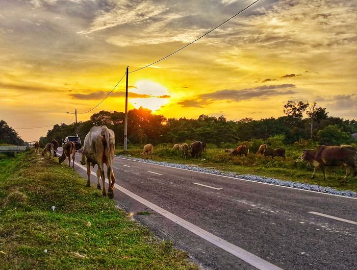 Sunset Road Rural Scene Sky Cloud - Sky Domestic Cattle Cow Herbivorous Calf Domesticated Animal Tag