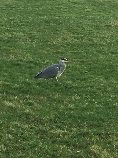 Bird One Animal Animal Themes Heron Animals In The Wild Grass Green Color Animal Wildlife Gray Heron No People Field Outdoors Nature Growth Day Perching Beauty In Nature