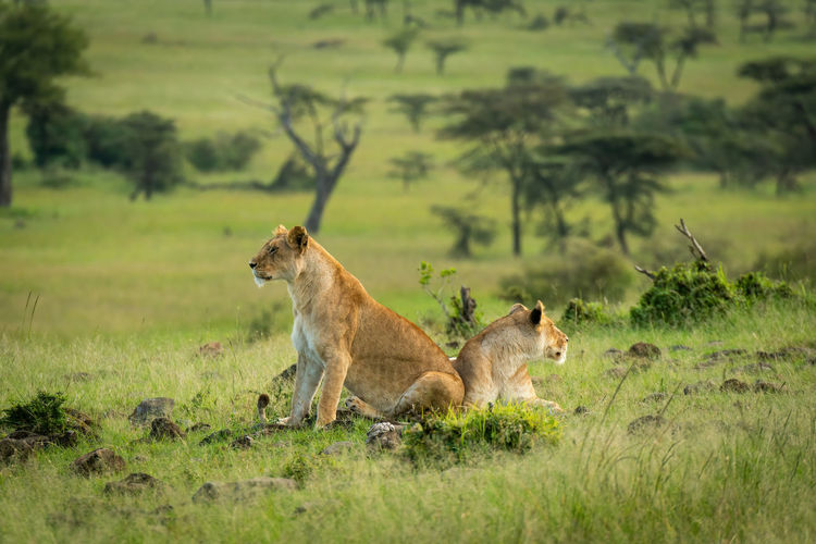 Lionesses sit and lie back-to-back in savannah