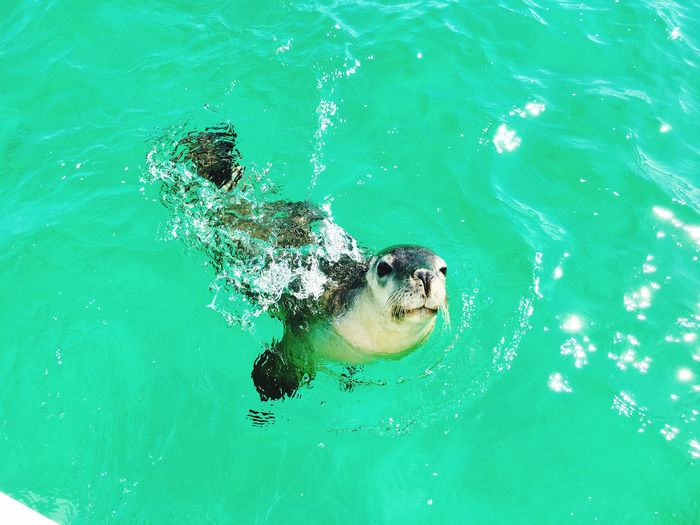 High angle view of seal swimming in pool