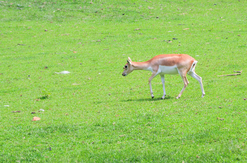 Antelope 1169
