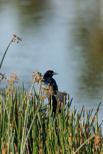 Boat tailed Grackle bird Quiscalus quiscula perches in marsh grass in a pond in Naples, Florida Boat Tailed Grackle Common Grackle Marsh Pond Quiscalus Quiscula Animal Animal Themes Animal Wildlife Animals In The Wild Beauty In Nature Bird Day Grackle Grackle Perching Grass Growth Nature No People One Animal Outdoors Perching Plant Quiscalus Major Vertebrate