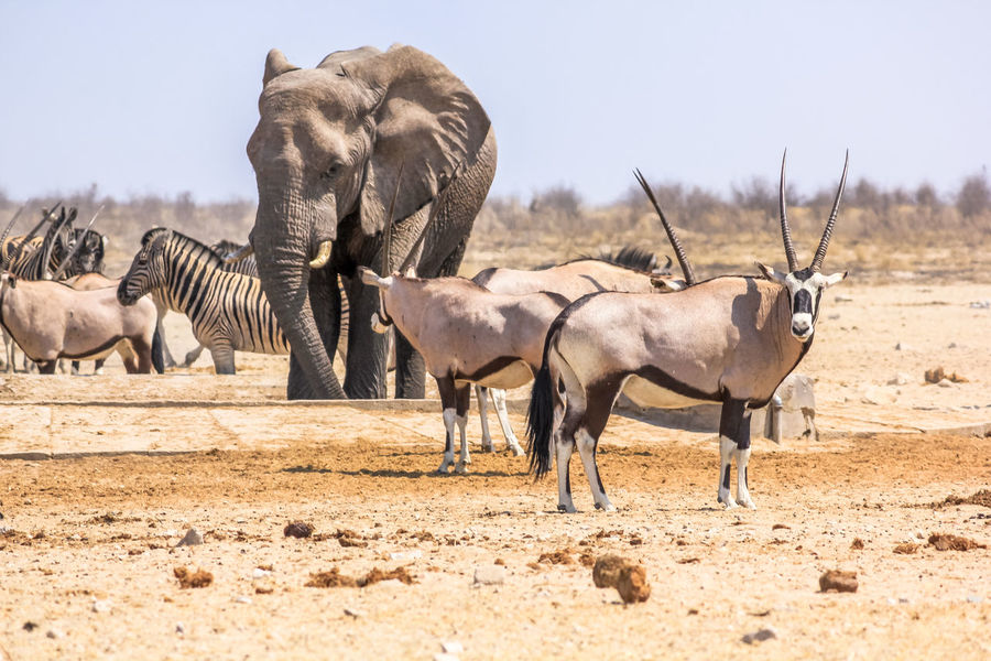 zebras elephants giraffes drinking at pool in Namibian savannah of Etosha National Park, dry season in Namibia, Africa zebras elephants giraffes drinking at pool in Namibian savannah of Etosha National Park, dry season in Namibia, Africa Desert Elephant Ethosa Gazelle Giraffe Landscape Lion Mangoose Namibia Np Oryx Oryx Gazella Pool Savannah Springbok Volture Zebra