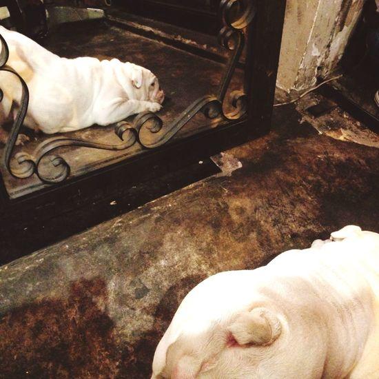 Pretending not to care....😔 Dogs Pretty Girl Pretending Bulldog Haiz Better Look Twice