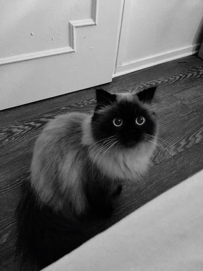 Une vrai princesse ❤️ Cat♡ Persian Girl Love