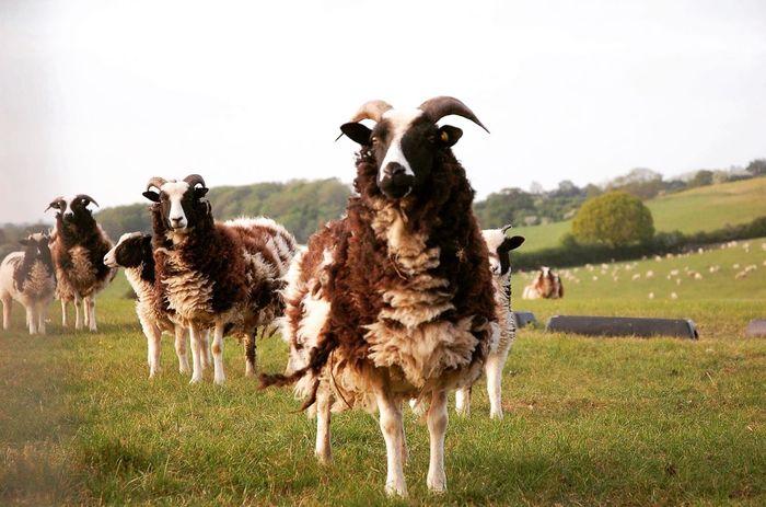 Jacobsheep Sheep Inquisitive Horns Hornysheep