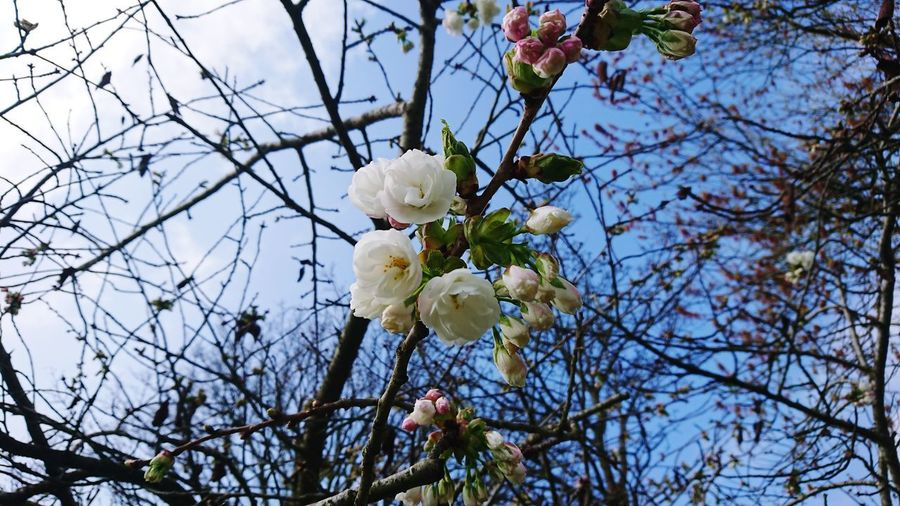 Spring English Countryside Tree Flower Branch Springtime Fruit Sky Close-up Cherry Blossom Blossom Fruit Tree In Bloom Twig