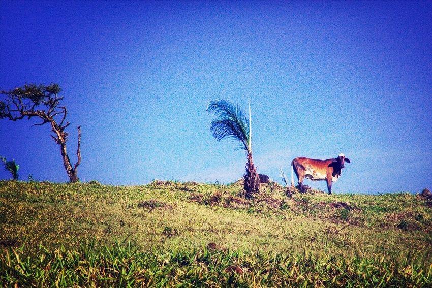 Trees Cow Blue Sky Senhora Do Carmo