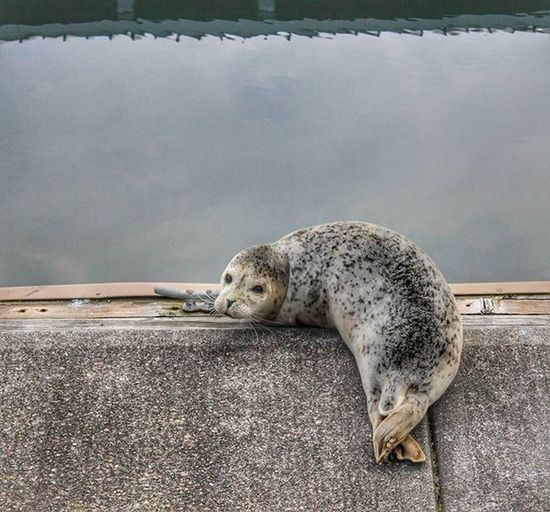 It was a great day to relax in the Sun PNW Photography Seal Marinelife Wildlife Edmonds Marina Igers_seattle Pnwlife Thatpnwlife Upperleftusa Northwestisbest Staypnw Dock Animals Nature Pnwcollective Natgeo Petitteckelphoto