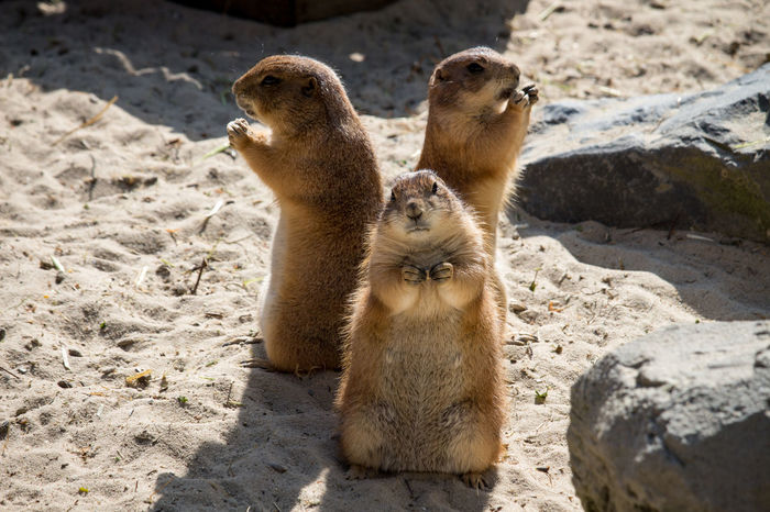 Präriehunde Prairie Dogs Zoo Hanover Sunny No People Beauty In Nature Hannover