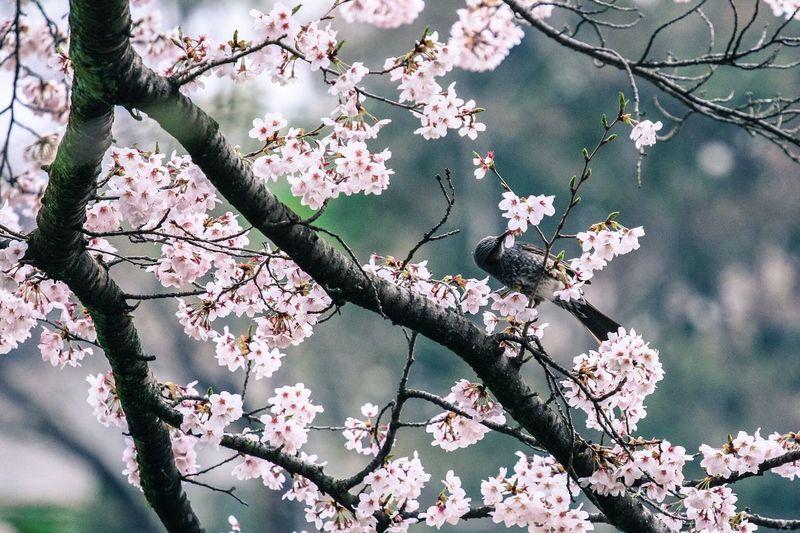 Check This Out Hello World Birds Sakura Cherry Blossoms Japan Showcase April Ultimate Japan