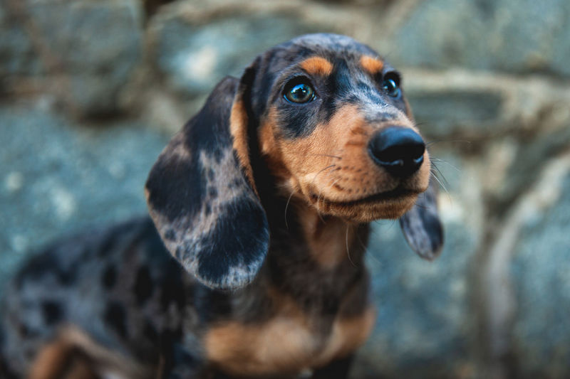 One Animal Canine Dog Domestic Pets Animal Domestic Animals Mammal No People Puppy Daschund Pet Photography  Focus On Foreground Close-up Animal Head  Animal Body Part Curiosity Animal Eye